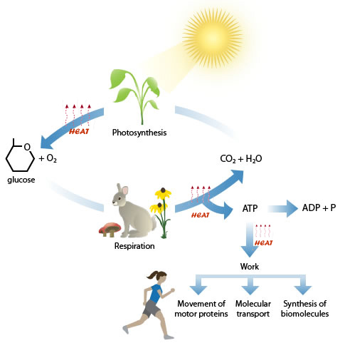Sun rays shine on a plant that can use that solar energy to photosynthesize glucose, and in the process creates oxygen and releases heat. Animals eat plants which in turn breakdown glucose into carbon dioxide and water, and capture the energy in glucose into ATP, (respiration) which cells can use for work like moving, molecular transport and synthesis of biomolecules.