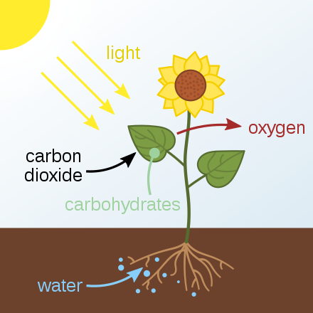 A drawing of a flower growing out of the ground. The sun is shining and light rays are going toward the plant. Carbon dioxide is listed as going into the plant and oxygen is listed as going out of the plant. Carbohydrates are listed as being formed in the leaves of the plant. The roots of the plant are shown in the soil and water in the soil is being absorbed by the roots.