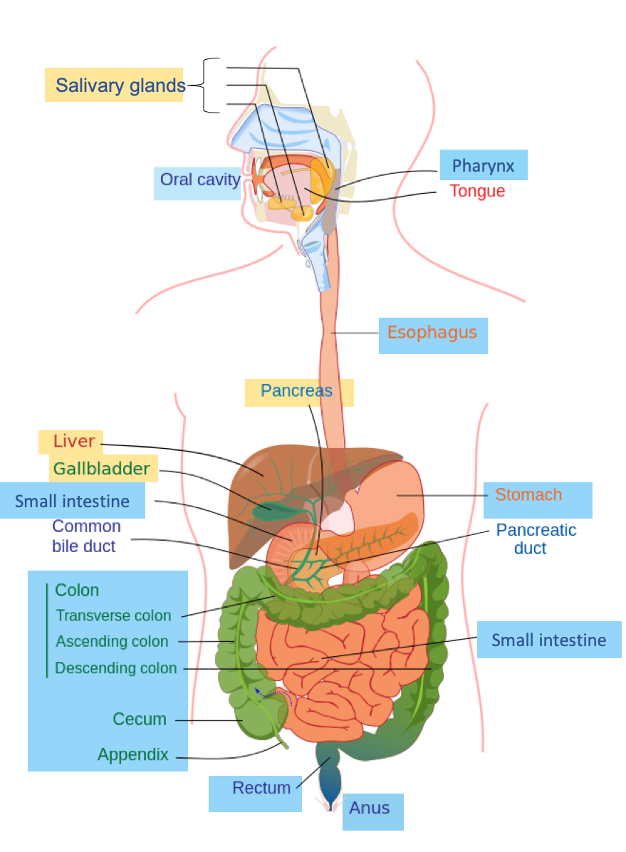 This diagram shows the digestive system of a human being, with the major organs labeled.