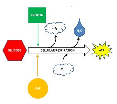 A diagram that depicts glucose, protein, and fat all feeding into the cellular respiration process. Oxygen is diagramed as contributing to cellular respiration. Carbon dioxide, water, and energy are diagramed as being produced or released from cellular respiration.