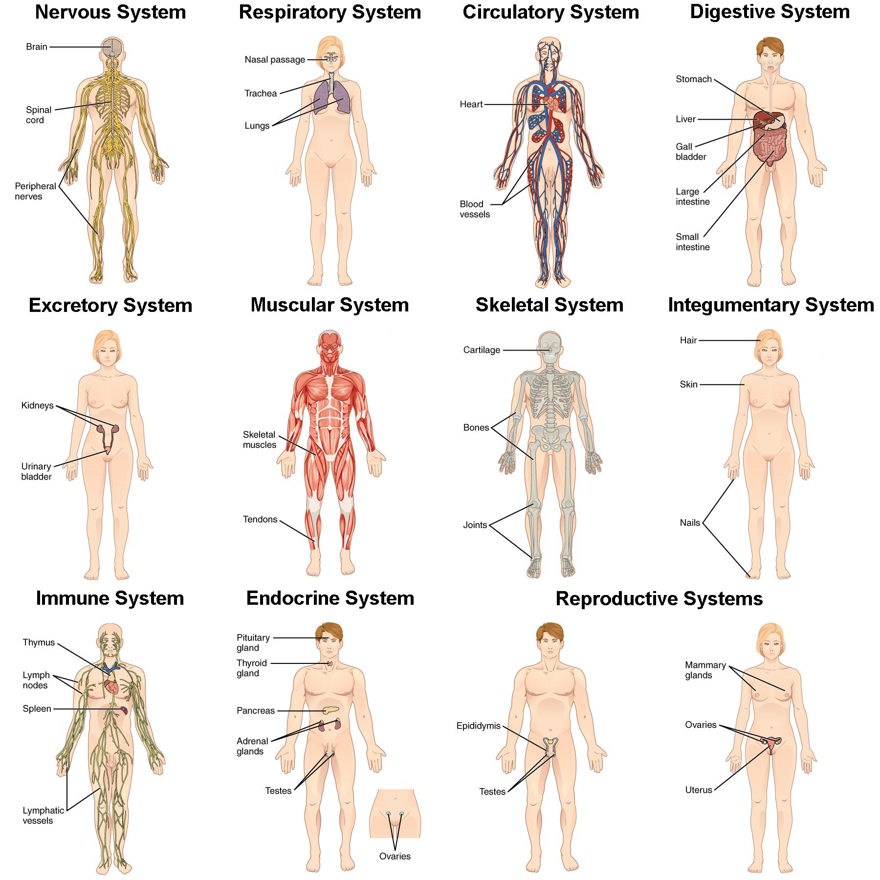 This picture shows eleven human body structures, each labeled with a specific organ system of the body and the organs that body system contains: the nervous system, the respiratory system, the circulatory system, the digestive system, the excretory system, the muscular system, the skeletal system, the integumentary system, the immune system, the endocrine system, and the reproductive system. Each of these systems, the organs that make up each system, and their basic functions are listed in Table 3.1.