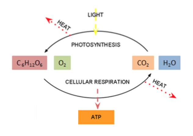 This illustration shows the relationship between the reactions of photosynthesis and cellular respiration is opposite. What one produces, the other uses, and vice versa.