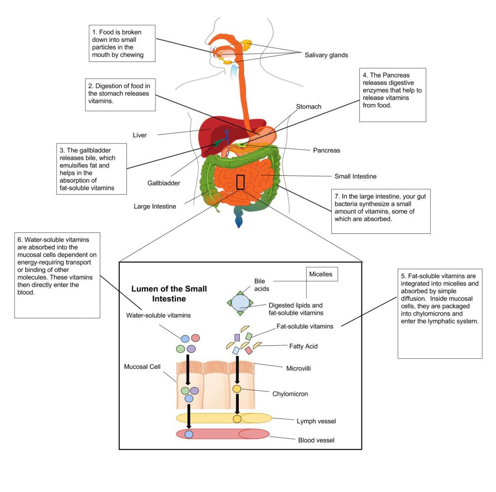 A diagram shows the gastrointestinal tract and what happens to vitamins in each organ of the intestinal tract.