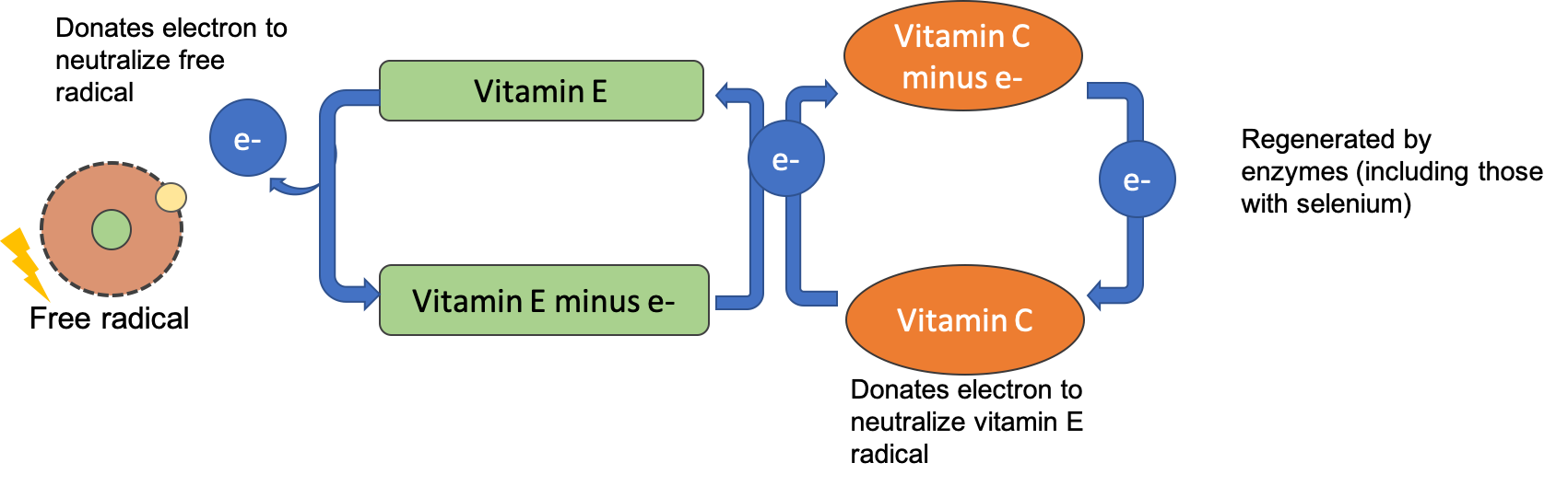 A diagram shows that vitamin E can neutralize a free radical, but then vitamin E is missing an electron. Vitamin C donates an electron to vitamin E, regenerating it so that it can act as an antioxidant again. Vitamin C is then regenerated by antioxidant enzymes.