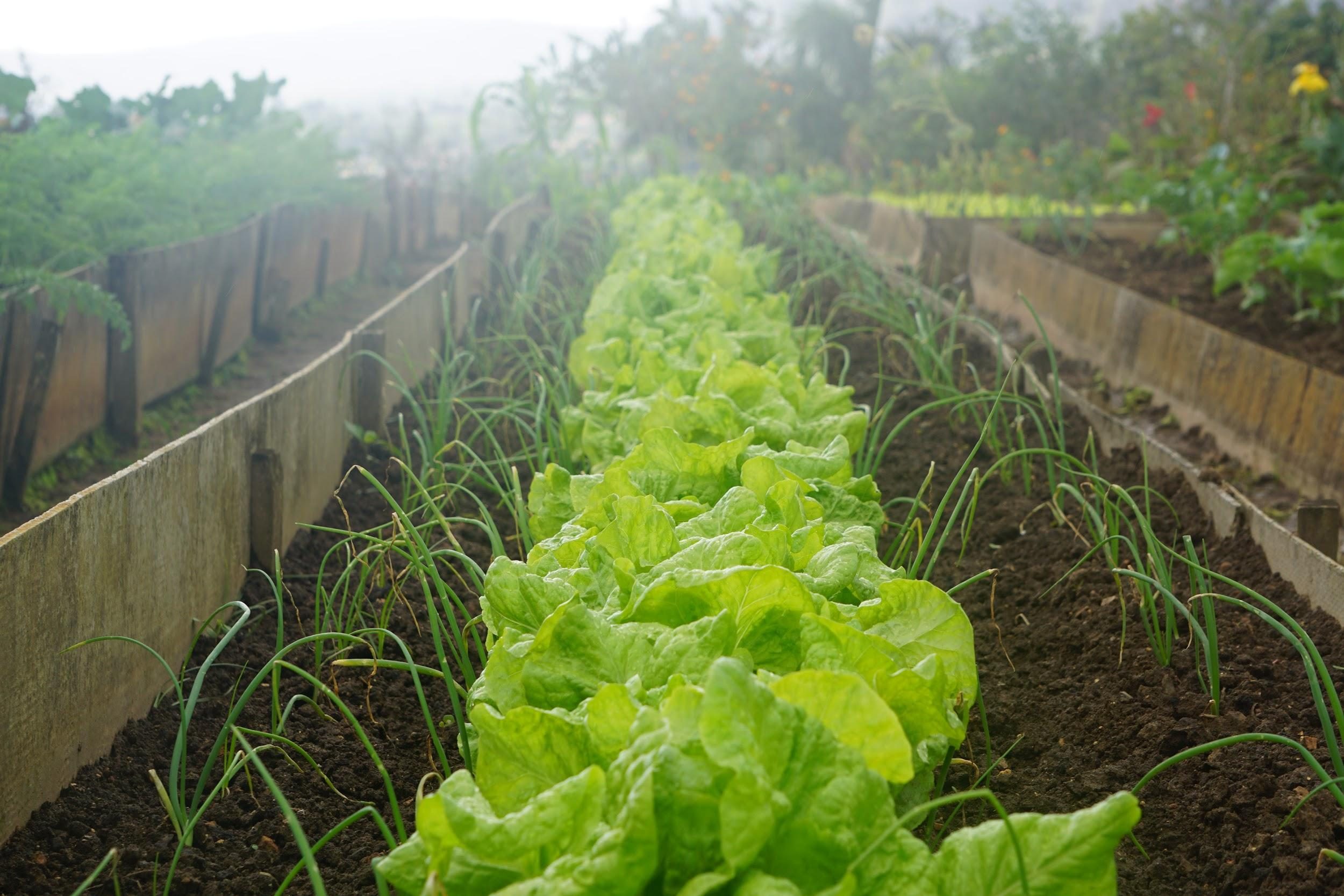 Green leafy vegetables are shown growing in a field of rich, brown soil.
