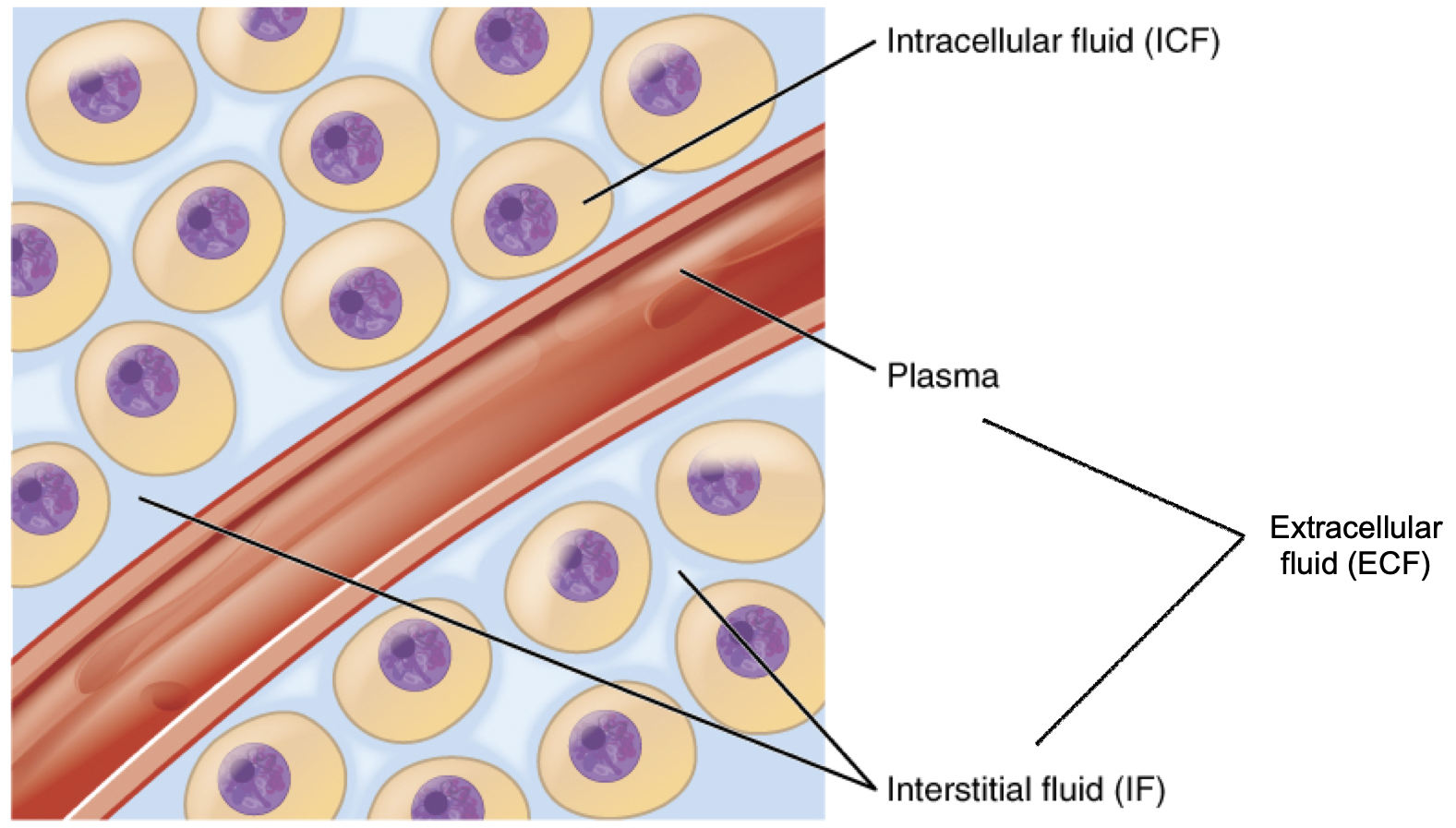 This diagram shows a small blood vessel surrounded by several body cells. The fluid between the body cells is the interstitial fluid (IF), which is a type of extracellular fluid (ECF). The fluid in the blood vessel is also an example of extracellular fluid. The fluid in the cytoplasm of each body cell is intracellular fluid, or ICF.