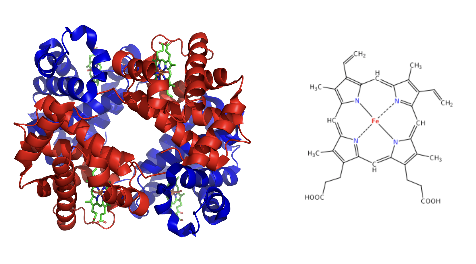 On the left the structure of hemoglobin includes four globular peptides (shown in blue and red), that come together to form the protein hemoglobin. Each of these peptides has an iron-containing heme molecule in the middle (shown in green). On the right is a closer look of the heme complex which is composed of a ringlike organic compound to which an iron atom is attached in the middle.
