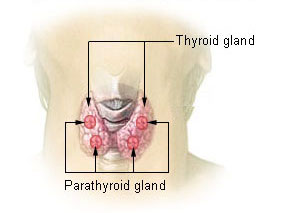 The image shows the outline of the back of a human's neck, with the butterfly-shaped thyroid gland hugging a vertebrae and dotted with 4 pea-sized parathyroid glands.