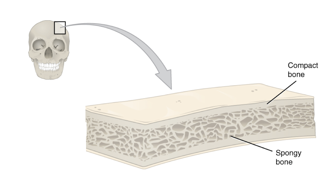 This cross-section of a flat bone from the skull shows the spongy bone lined on either side by a layer of compact bone.