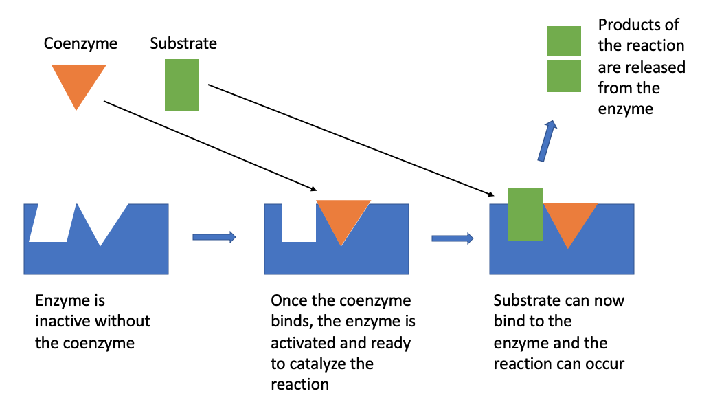 Figure shows the shape of an enzyme and the positions on the enzyme that the coenzyme and the substrate bind to. Once a coenzyme binds to the enzyme, the enzyme is activated and the substrate can bind to the enzyme so the reaction can occur. After the reaction, the products of the reaction are released from the enzyme.