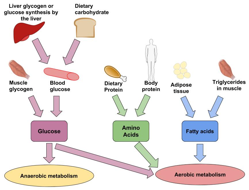 The image depicts both the food sources and body storage of carbohydrates, fat, and protein are used for fuel in anaerobic and aerobic metabolism. Carbohydrates come from food and from glycogen. Fat comes from food and from adipose tissue. Protein comes from food and body proteins.