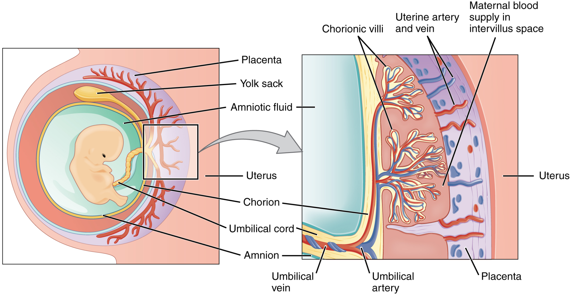 A two-part diagram shows (at left) the position of the developing fetus within the uterus, with umbilical cord connecting it to the placenta; and (at right) the structure of the placenta, with umbilical blood entering the chorionic villi, where it comes in close proximity to maternal blood.