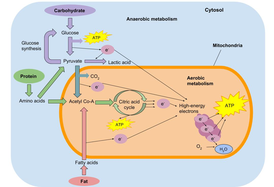 The image depicts the anaerobic and aerobic metabolic cycles in the cells of the body. The image shows carbohydrate being used for fuel in anaerobic metabolism and shows carbohydrate, fat, and protein all being used for fuel in aerobic metabolism.